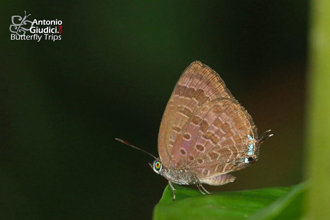 The Reddish-brown Oakblueผีเสื้อฟ้าไม้ก่อสีตาลแดงArhopala selta