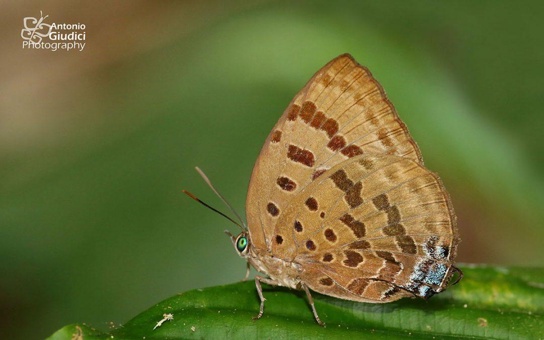 The Sylhet Oakblue ผีเสื้อฟ้าไม้ก่อเมืองซิลเฮด Arhopala silhetensis