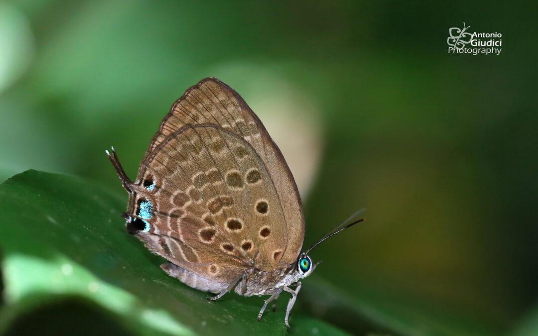 The Large Spotted Oakblueผีเสื้อฟ้าไม้ก่อใหญ่จุดเด่นArhopala vihara