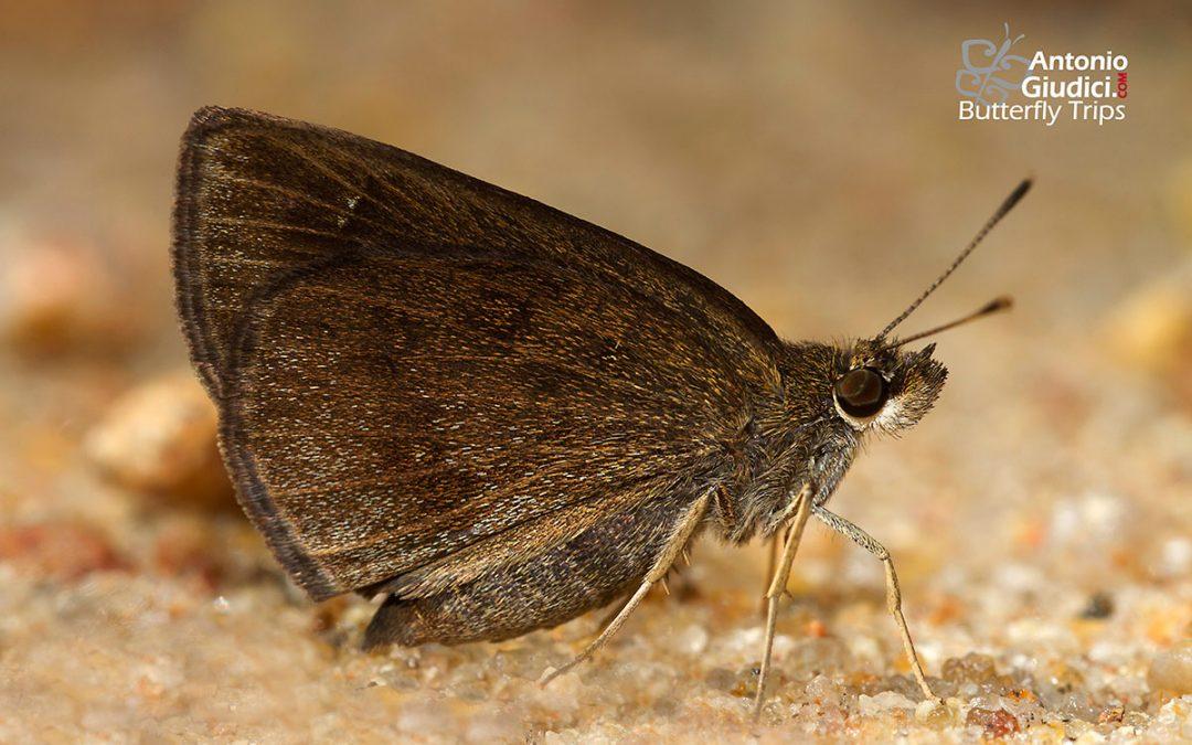 The Forest Hopperผีเสื้อนิลป่าAstictopterus jama