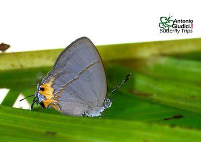 The Azure Royalผีเสื้อหางคู่ฟ้าหนวดตุ้มBritomartis cleboides