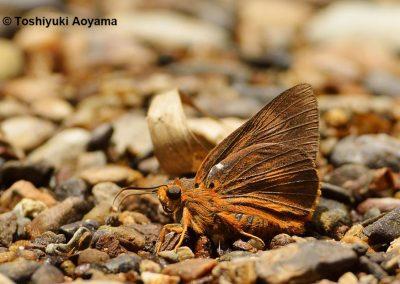 The Plain Orange Awletผีเสื้อหน้าเข็มปีกมนส้มจางBurara anadi