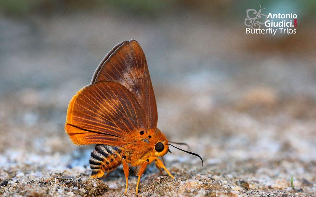 The Common Orange Awletผีเสื้อหน้าเข็มปีกมนส้มธรรมดาBurara harisa