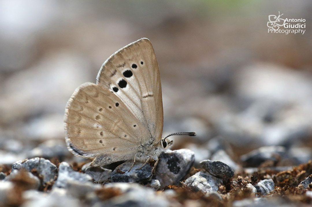 The Large-spot Blueผีเสื้อฟ้าจุดใหญ่Caerulea coeligena