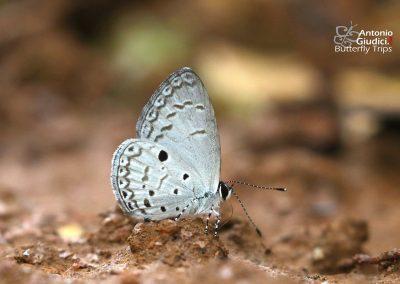 The Metallic Hedge Blueผีเสื้อฟ้าพุ่มโลหะCallenya melaena