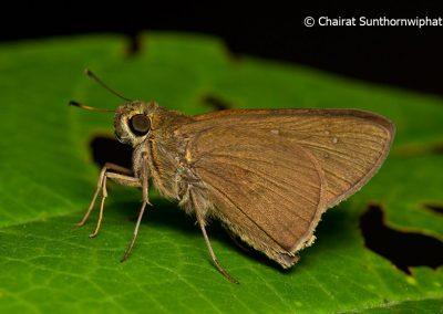 The Dark Branded Swiftผีเสื้อหนอนหญ้าจุดวงกลมCaltoris brunnea