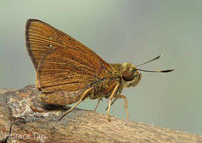 The Malayan Swiftผีเสื้อหนอนหญ้ามลายูCaltoris malaya