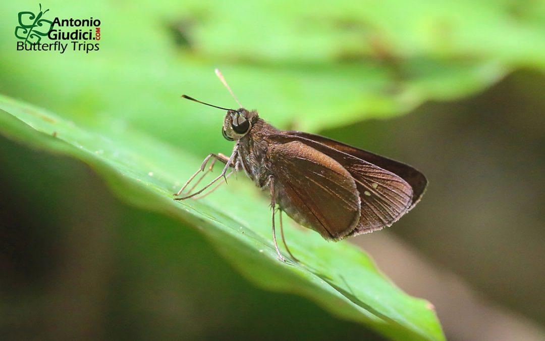 The Tufted Swiftผีเสื้อหนอนหญ้าปีกพู่Caltoris plebeia