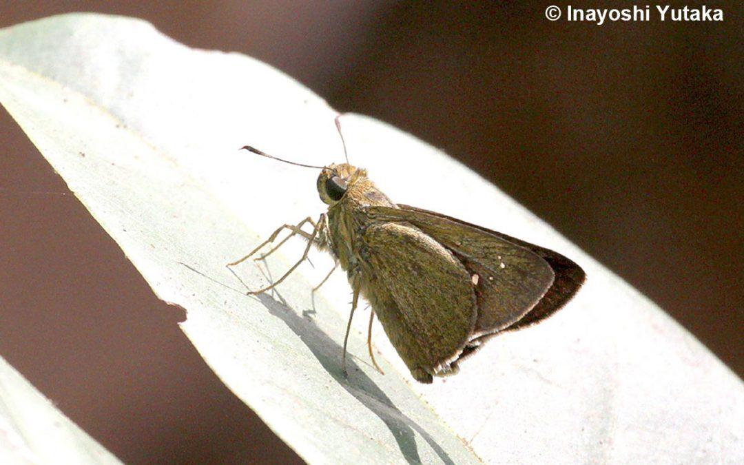 The Greenish-hairy Swiftผีเสื้อหนอนหญ้าขนเขียวCaltoris tenuis