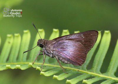 The Purple Swiftผีเสื้อหนอนหญ้าใต้ม่วงCaltoris tulsi