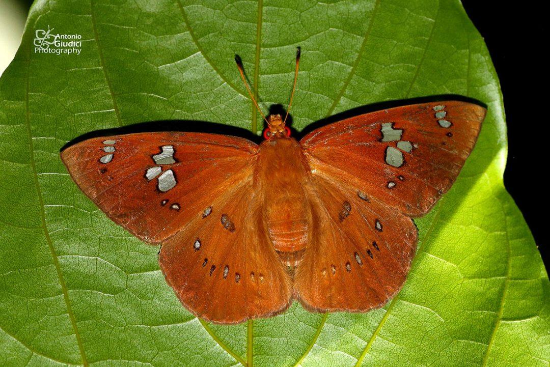 The Fulvous Dawnflyผีเสื้อใกล้รุ่งธรรมดาCapila phanaeus