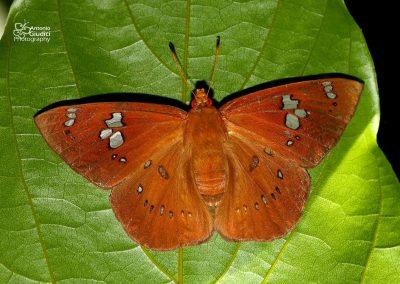 The Fulvous Dawnfly ผีเสื้อใกล้รุ่งธรรมดา Capila phanaeus