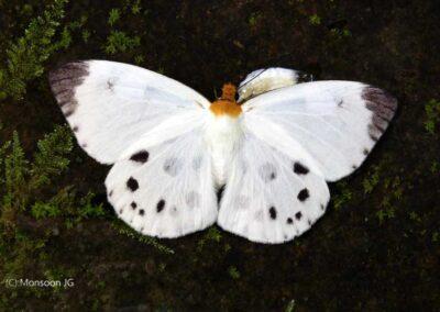 The White Dawnfly ผีเสื้อใกล้รุ่งสีขาว  Capila pieridoides