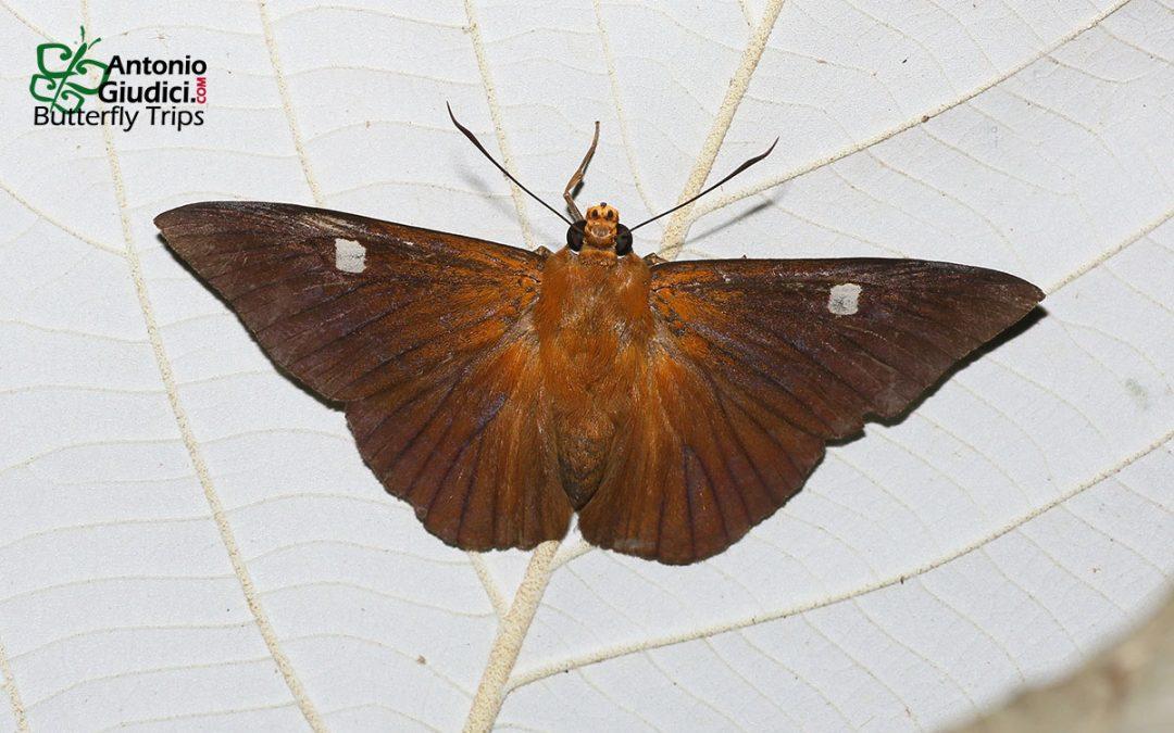 The Hainan Dawnfly ผีเสื้อใกล้รุ่งไหหลำ Capila hainana