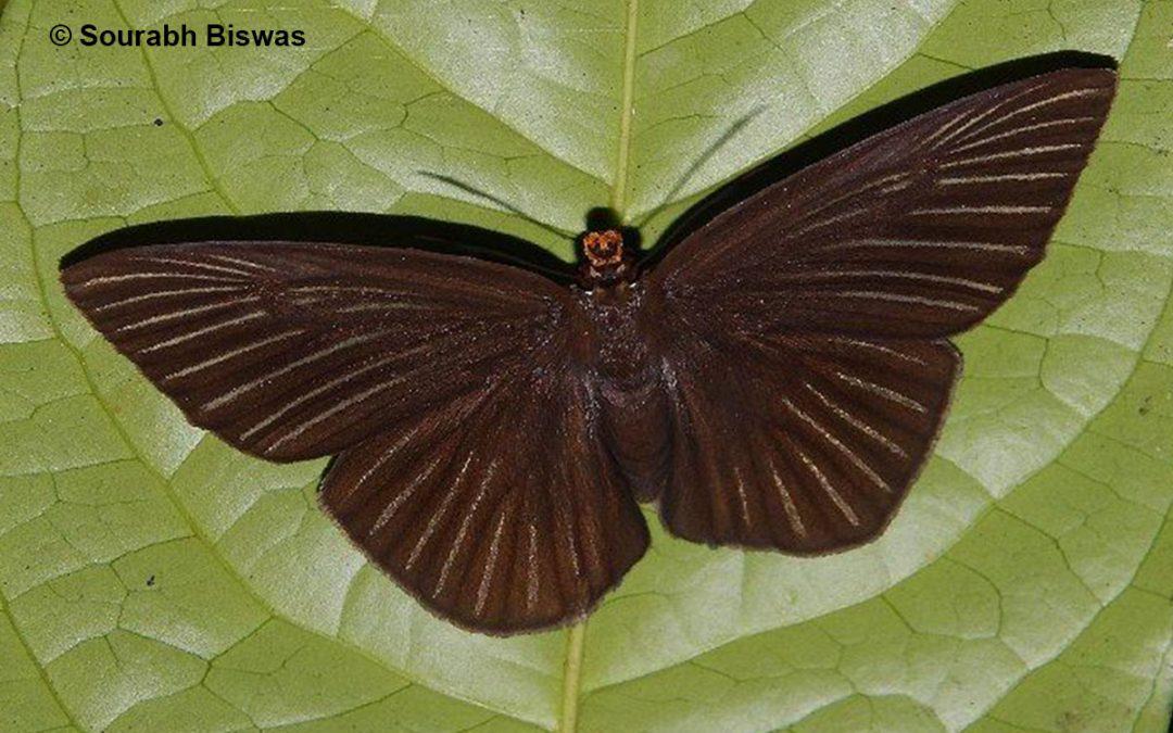 The Pale Striped Dawnflyผีเสื้อใกล้รุ่งสุขกิตCapila zennara