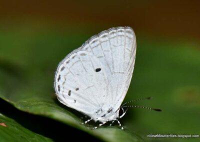 The Three-spotted Hedge Blueผีเสื้อฟ้าพุ่มมุมสามจุดCebrella pellecebra