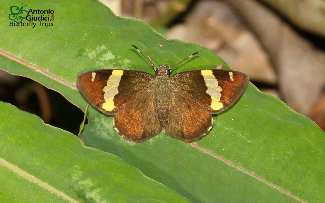 n/an/aCelaenorrhinus affinis