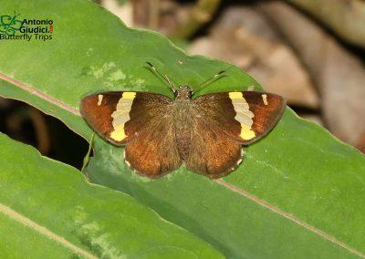 n/a n/a Celaenorrhinus affinis