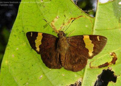 The Andaman Yellow-banded Flat ผีเสื้อปีกราบแถบทองอันดามัน Celaenorrhinus andamanicus