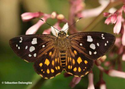The Large-spotted Flat ผีเสื้อปีกราบปิ่นรัตน์ Celaenorrhinus aspersa
