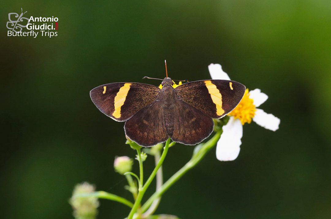 The Dark Yellow-banded Flatผีเสื้อปีกราบแถบทองสีคล้ำCelaenorrhinus aurovittatus