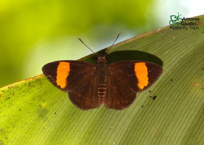 The Orange-banded Flat ผีเสื้อปีกราบแถบส้ม Celaenorrhinus ladana