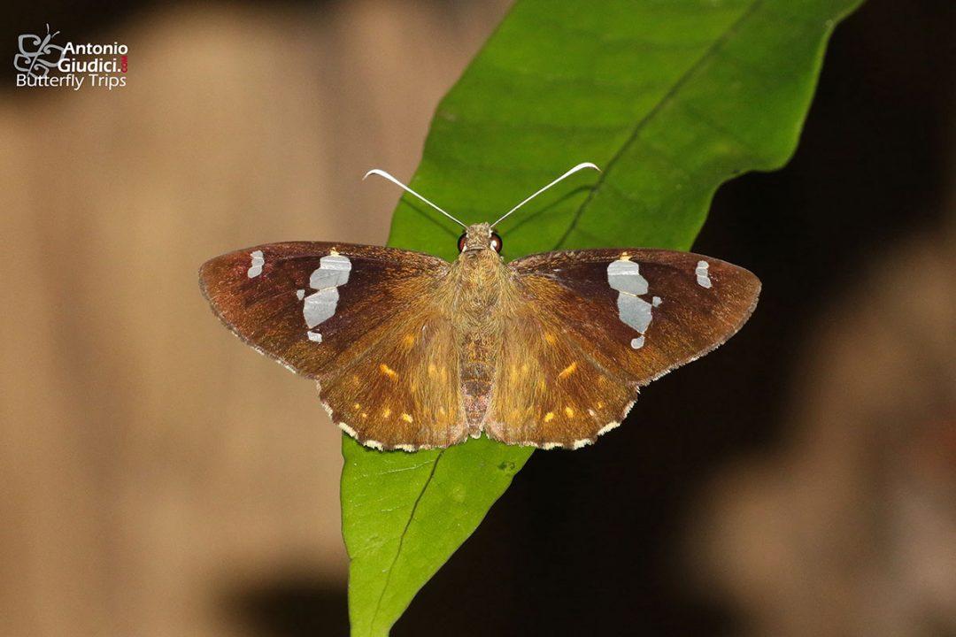 The Common Spotted Flatผีเสื้อปีกราบลายจุดธรรมดาCelaenorrhinus leucocera