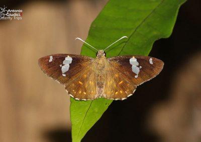 The Common Spotted Flat ผีเสื้อปีกราบลายจุดธรรมดา Celaenorrhinus leucocera