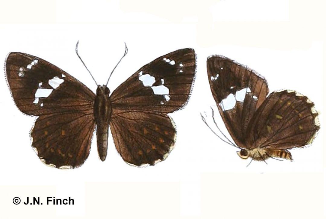 The Himalayan Spotted Flatผีเสื้อปีกราบจุดหิมาลัยCelaenorrhinus munda