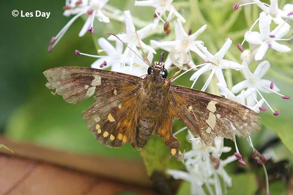 The Mussoorie Spotted Flatผีเสื้อปีกราบจุดตาอัสสัมCelaenorrhinus pero