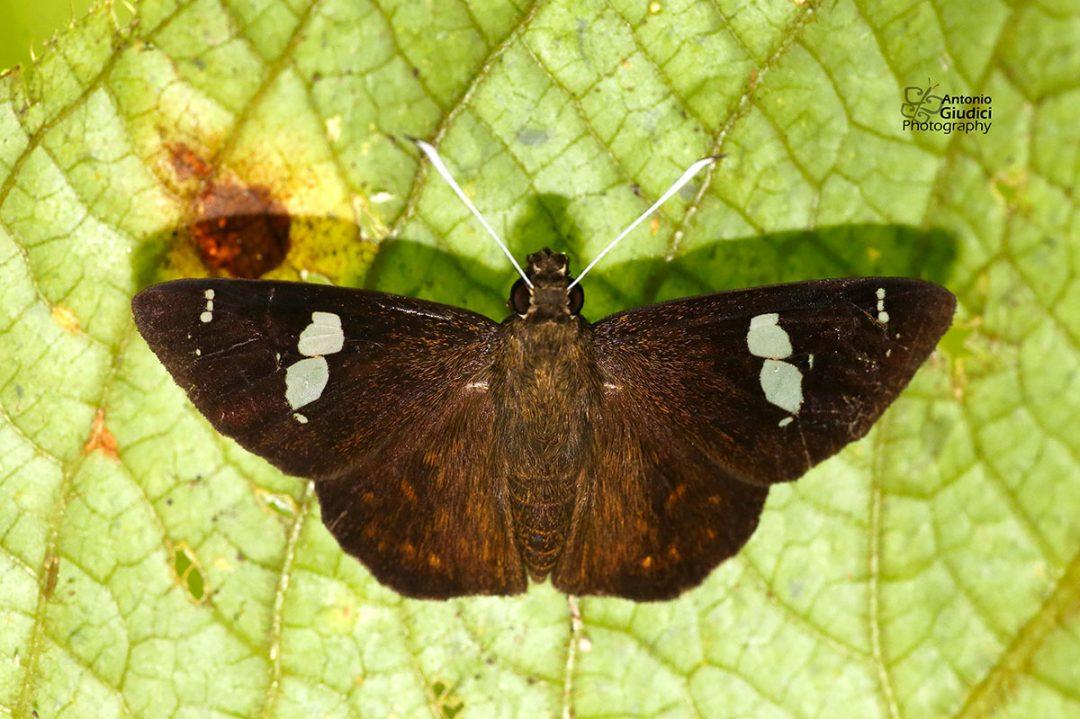 The Bengal Spotted Flatผีเสื้อปีกราบจุดเบงกอลCelaenorrhinus putra