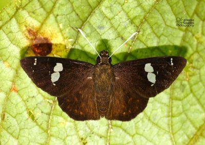 The Bengal Spotted Flat ผีเสื้อปีกราบจุดเบงกอล Celaenorrhinus putra