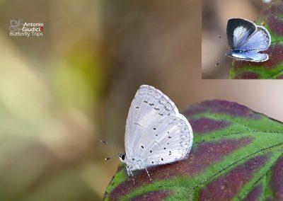 The Jyntea Hedge Blueผีเสื้อฟ้าพุ่มจินเทียCelastrina argiolus