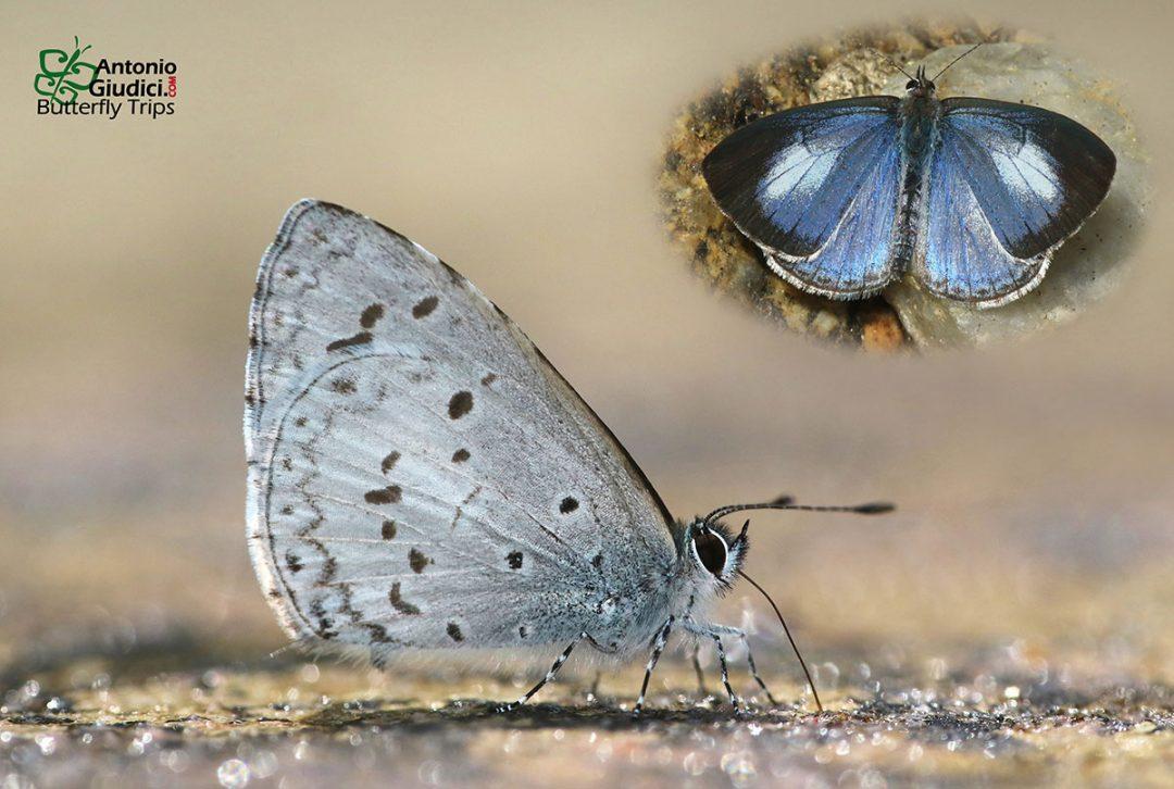 The Margined Hedge Blueผีเสื้อฟ้าพุ่มขอบดำCelatoxia marginata
