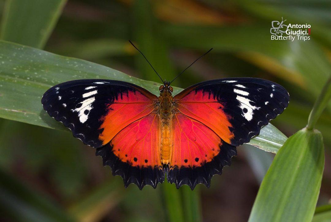 The Orange Lacewingผีเสื้อกะทกรกเข้มCethosia methypsea