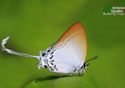 The Common Imperial ผีเสื้อขาวหางริ้ว Cheritra freja