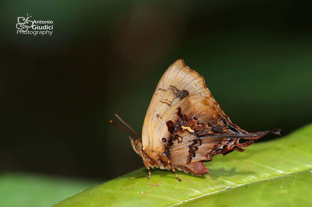 The Truncate Imperialผีเสื้อม่วงปีกตัดCheritrella truncipennis