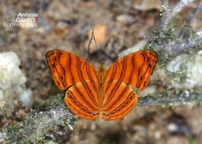 The Wavy Mapletผีเสื้อแผนที่แดงลายหยักChersonesia rahria