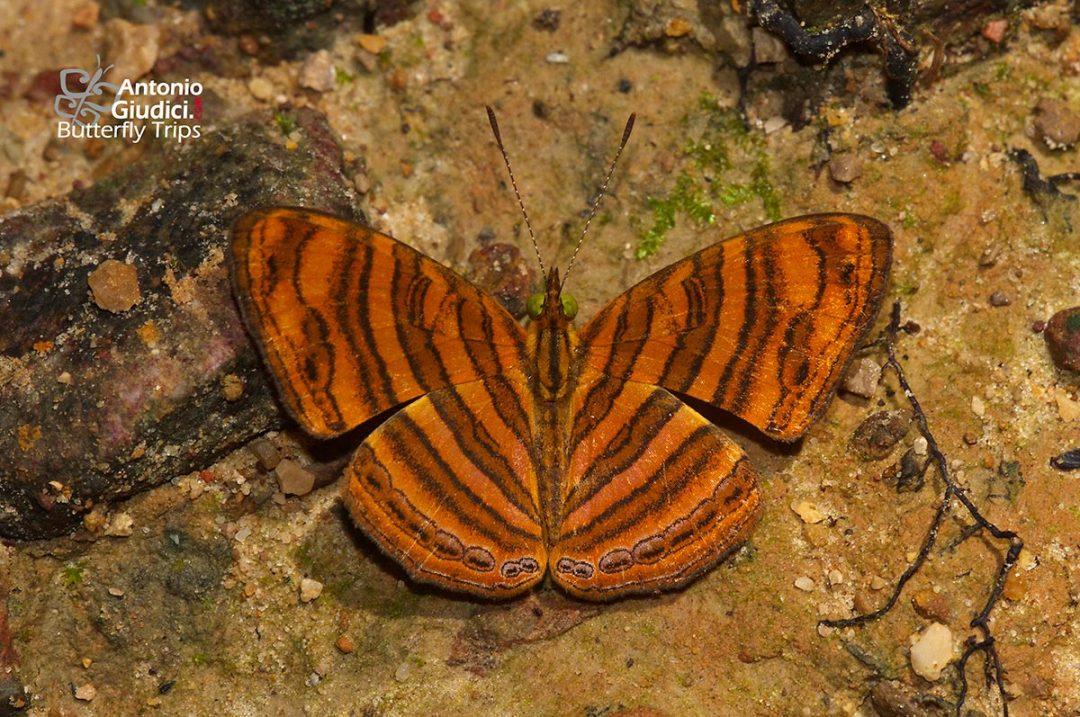 The Rounded Mapletผีเสื้อแผนที่แดงปีกมนChersonesia peraka