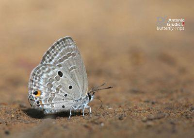 The Plain Cupidผีเสื้อฟ้าหิ่งห้อยสีคล้ำChilades pandava