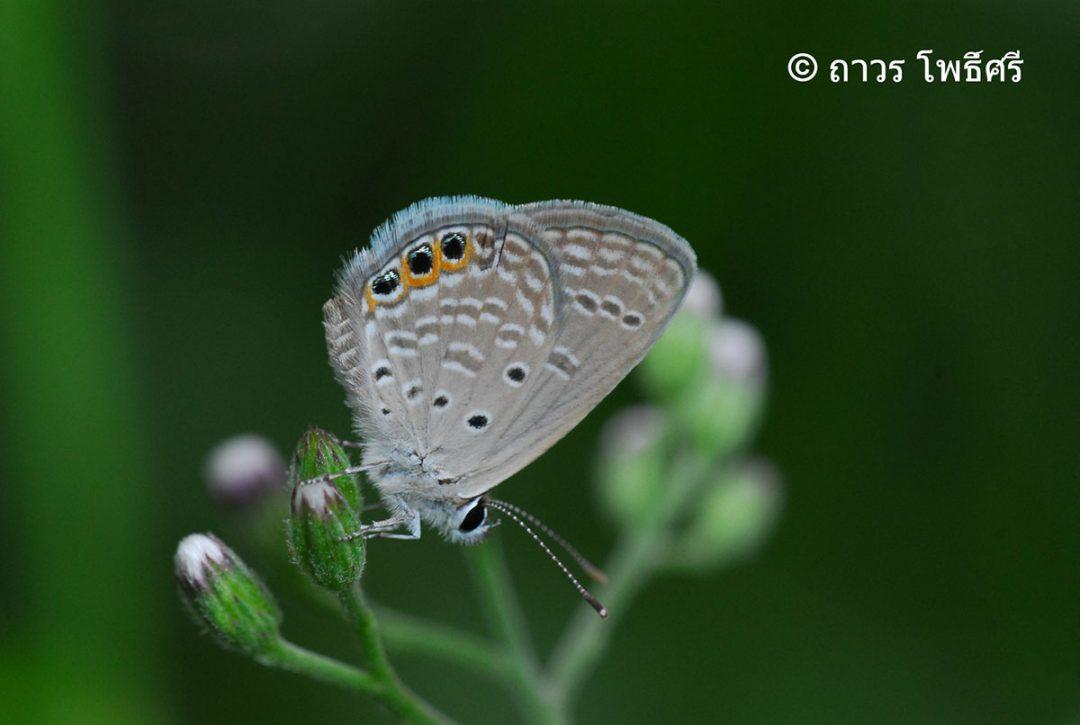 The Large Grass Jewelผีเสื้อฟ้าขอบประกายใหญ่Chilades trochylus