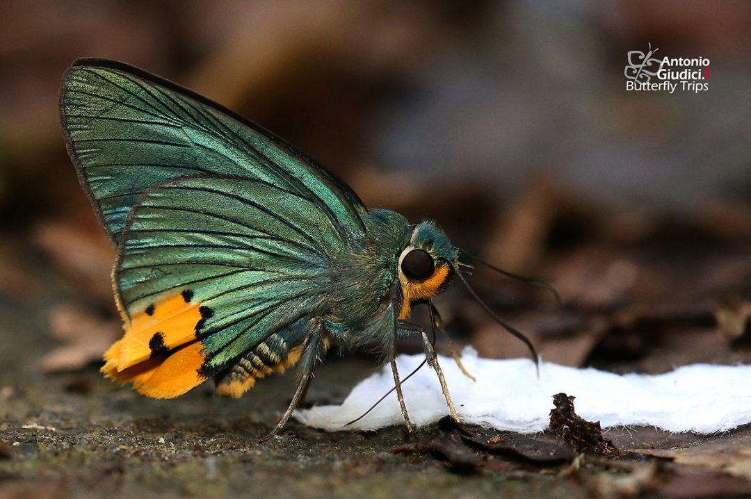 The Yellow-tailed Hawlkingผีเสื้อหน้าเข็มยักษ์หางเหลืองChoaspes stigmatus