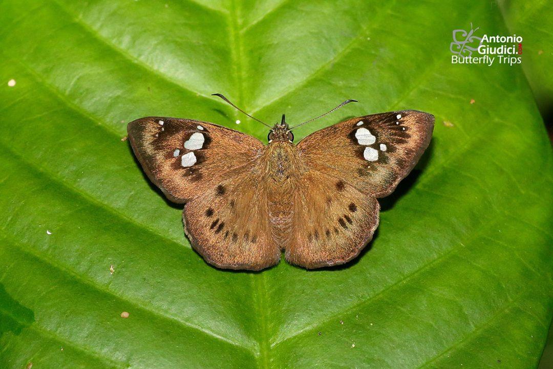 The Conjoin-spotted Pied Flatผีเสื้อลายด่างจุดเชื่อม Coladenia agni