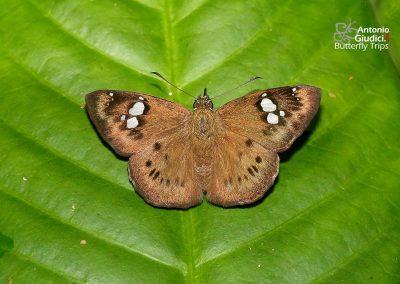 The Conjoin-spotted Pied Flat ผีเสื้อลายด่างจุดเชื่อม Coladenia agni