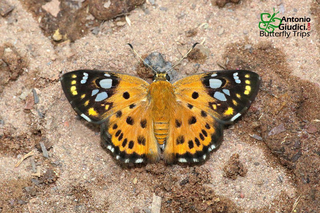 The Tricolour Pied Flatผีเสื้อลายด่างสามสีColadenia indrani