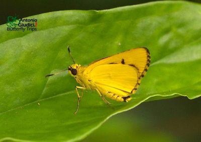 The Waxy Dartผีเสื้อเหลืองปีกไขCupitha purreea