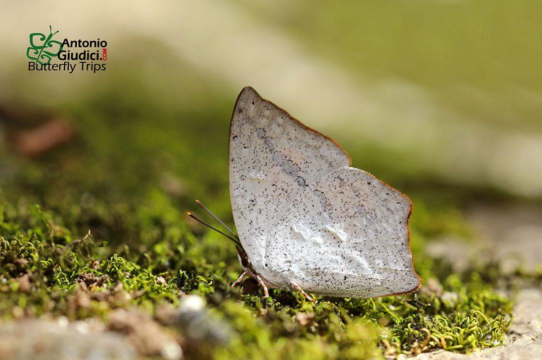 The Angled Sunbeamผีเสื้อสีหมากสุกมุมหักCuretis acuta