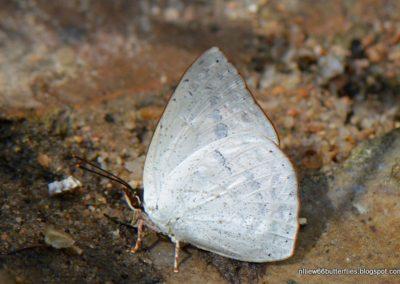 The White-beaked Sunbeamผีเสื้อสีหมากสุกงวงขาวCuretis felderi