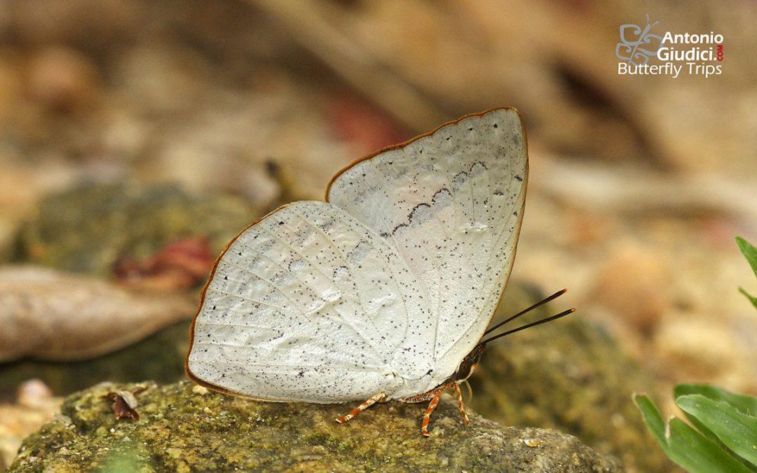 The Malayan Sunbeamผีเสื้อสีหมากสุกมลายูCuretis santana