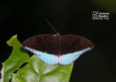 The Blue Countผีเสื้อเคาท์ขอบฟ้าCynitia flora